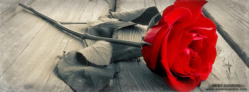 Beautiful Facebook Cover : Beautiful rose fb timeline cover
