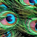 peacock feather fb cover photo