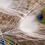 white peacock beautiful feather fb cover photo
